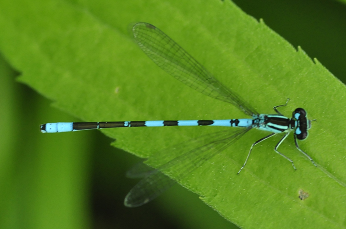 Male bluet (Enallagma sp.) on a leaf (Jun 7, 2016). (credit: Dalila Seckar)