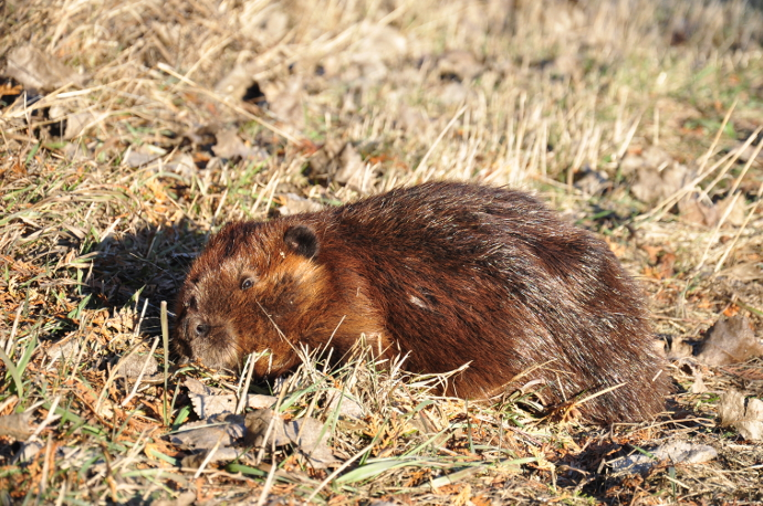 A beaver living in the Cold Creek watershed.